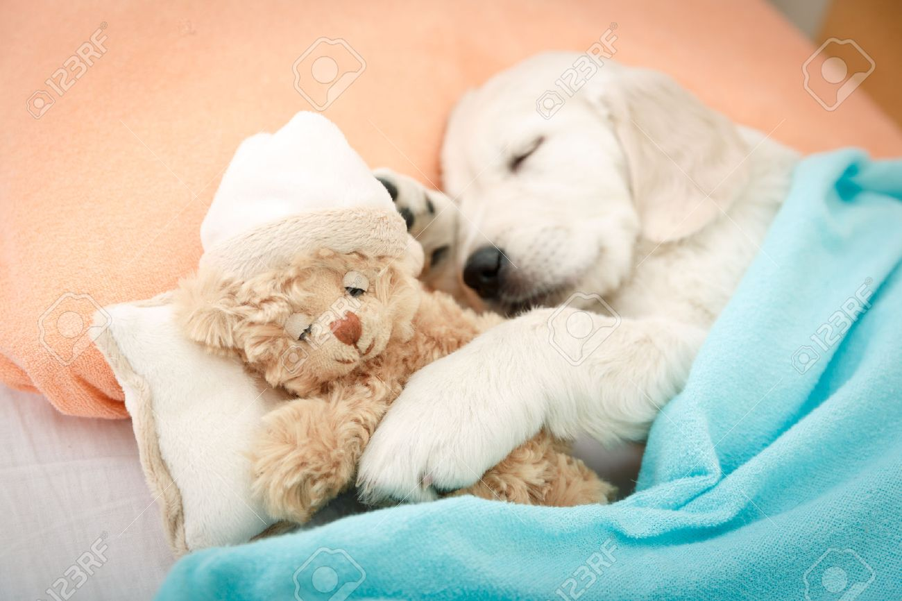 34369599-labrador-retriever-puppy-sleeping-with-toy-on-the-bed